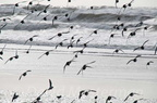 shorebirds_0199.jpg