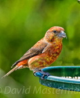 bird_crossbill_0598_.jpg