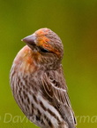 bird_crossbill_0864.jpg